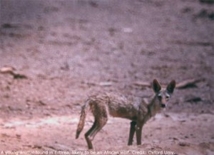 Africa's Lone Wolf: New Species Found in Ethiopia